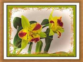 Potinara Burana Beauty - Orchidée
