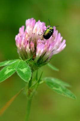 Chrysolina herbacea (je pense) sur fleur de luzerne.....