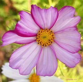 une jolie fleur ..
