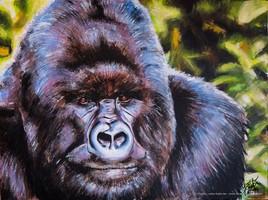 Gorille à dos gris