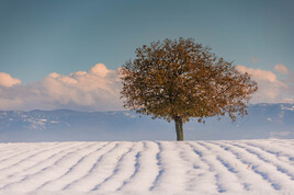 Arbre dans la neige ...