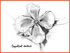 Le coquelicot douteux (Papaver dubium) / Drawing A long-headed poppy