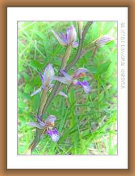 Limodorum abortivum - orchidée