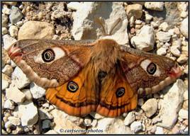Papillon roux poilu