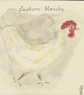 Leghorn blanche