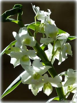 Orchidée bambou Nobile Appolon.
