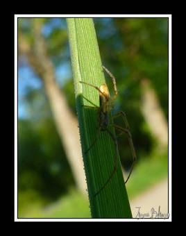 araignée   Pholcus
