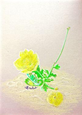 Le pavot jaune des sables (Glaucium flavum) / Drawing Flower A sea-poppy