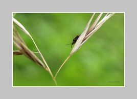 Insecte acrobate..