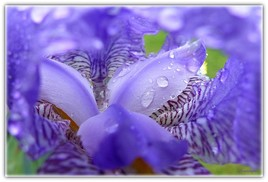 Coeur d'Iris.