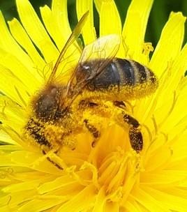 Une abeille un jour de printemps.....
