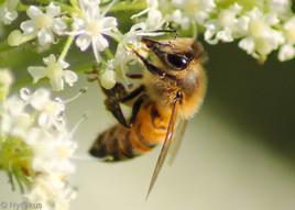 abeille 01