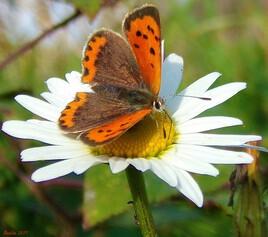 le papillon..