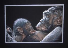 chimpanzés, maternité