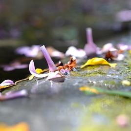 Fleur de Lilas