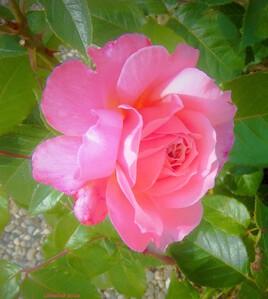 la rose rose..