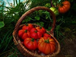 panier de tomates natures..