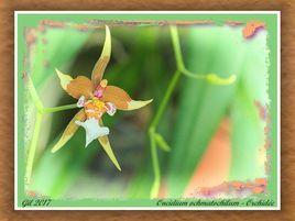 Oncidium ochmatophyllum - Orchidée