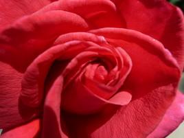 Au coeur de ma rose