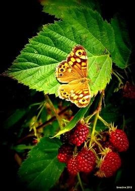 le papillon et les framboises..