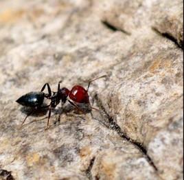 petite fourmil