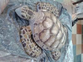 mira-tortue de mer