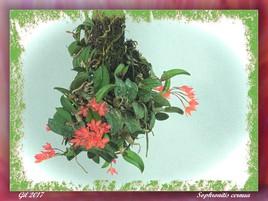 Sophronitis cernua - Orchidée
