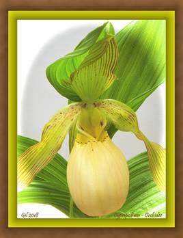 Cypripedium - Orchidée