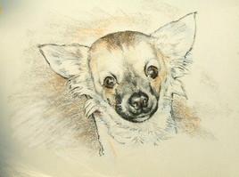 Portrait de chihuahua.