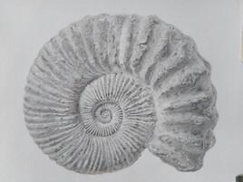 Fossile d'ammonite