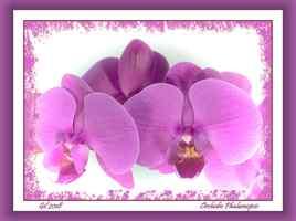 Phalaenopsis hybride - Orchidée