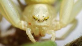 Les beaux yeux d'une araignée crabe