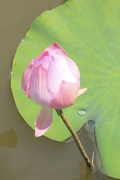 FLEUR DE LOTUS-THAILANDE 2007