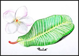 Dessin Frangipanier (Plumeria), fleur et feuille / Drawing Frangipani, flower and leaf