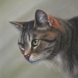 Maxwell, le Chat tigré