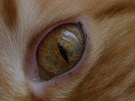 l'iris du chat