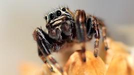 Petite araignée sauteuse (Evarcha Arcuata)