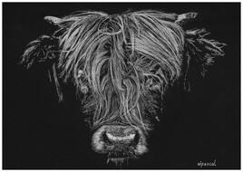 Scottish highland breed