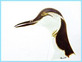 Guillemot de Troïl (Uria aalge) / Painting of a Common Mure in winter plumage