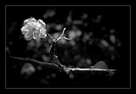 Black & White Blossom