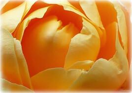 Coeur de Rose... orangée.