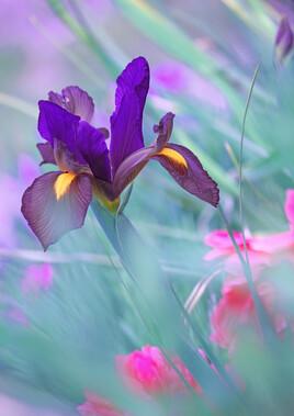 L'Iris de Hollande