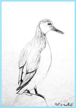 Guillemot de Troïl (Uria aalge) / Sketch of a Common Mure