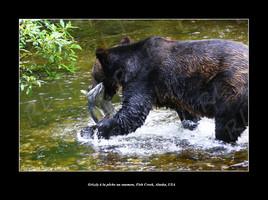 Grizzly à la pêche au saumon