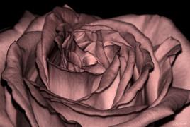 Cœur de rose