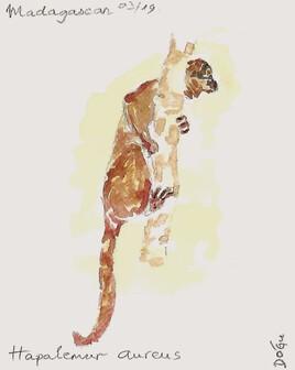 Lemur doré
