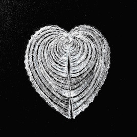 Coquillage La bucarde-coeur de Vénus / Drawing A shell, the heart coquille (Corculum cardissa)