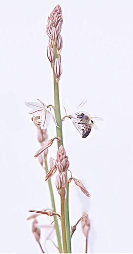 L'abeille et l'asphodèle
