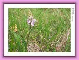 Dactylorhiza maculata - Orchidée
