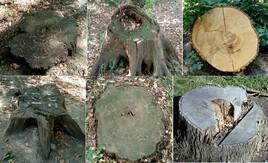 Tranches de six troncs...